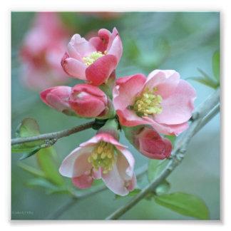 Apple Blossom #P0356 Photo