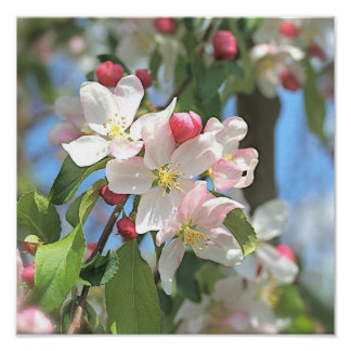 Apple Blossom Pink White Flowers Poster