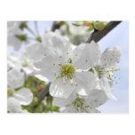 Apple Blossom Postcards