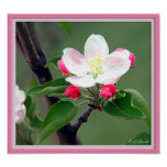 Apple Blossom Poster; Watercolor Impressionistic