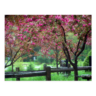 Apple Blossom Time Post Card