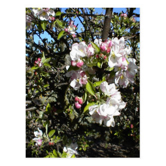 Apple Blossom Time Post Cards