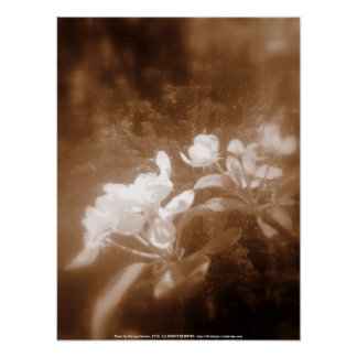 apple blossoms #2, sepia poster