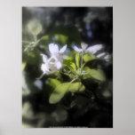 apple blossoms #6 print