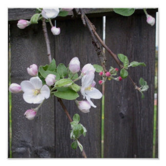 Apple Blossoms & Buds Poster