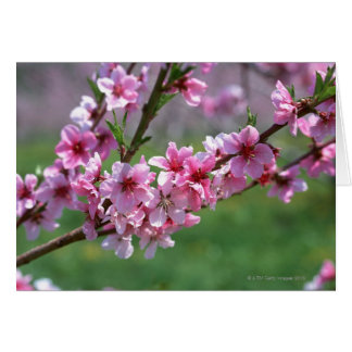 Apple Blossoms Cards