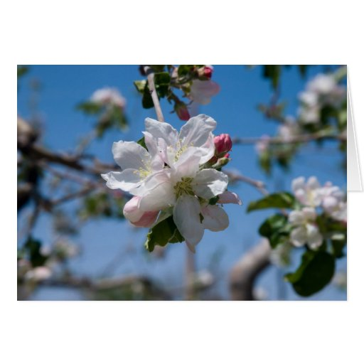 Apple Blossoms in Palisade, Colorado Greeting Cards