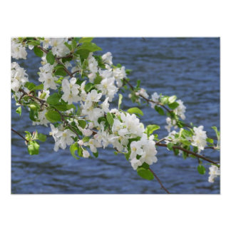 Apple Blossoms on the Penobscot River Poster