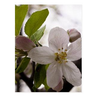 Apple Blossoms Postcards