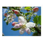APPLE BLOSSOMS Postcards Spring Post Cards