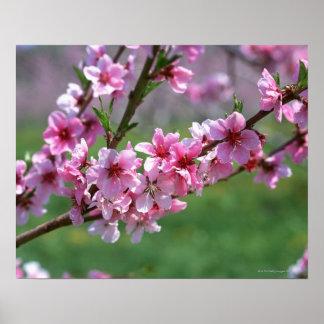 Apple Blossoms Print