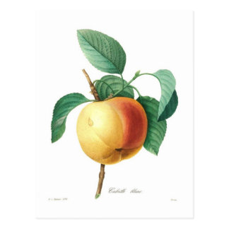 Apple 'Calville blanc' Postcard