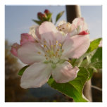 Apple florece macro impresiones