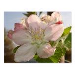 Apple florece macro tarjeta postal