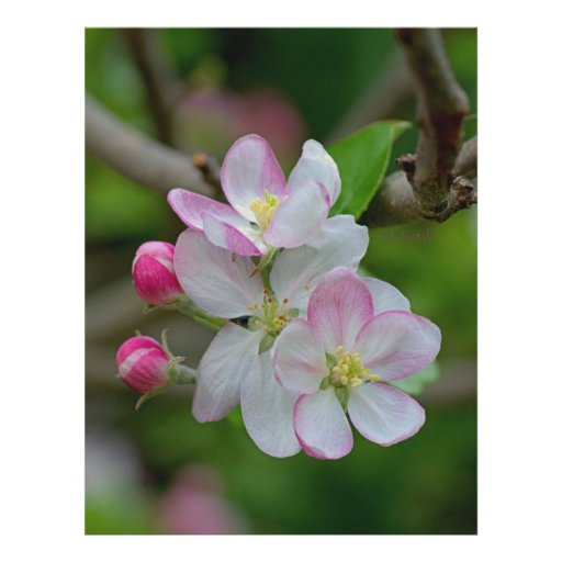 Apple florece membrete