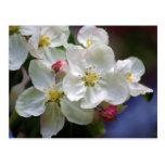 Apple florece postales