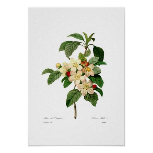 Apple florece póster