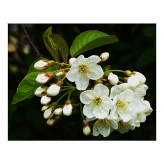 Apple florece ~ Print~ Poster