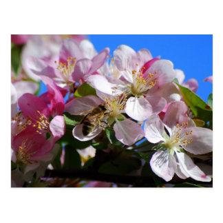 Apple florecen y la postal de la abeja de la miel