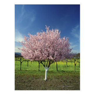 Apple tree in a field, Napa Valley, California, Postcard