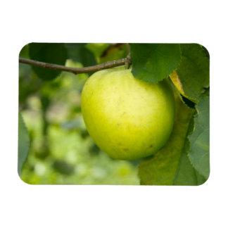 Apple verde en una rama de árbol iman de vinilo