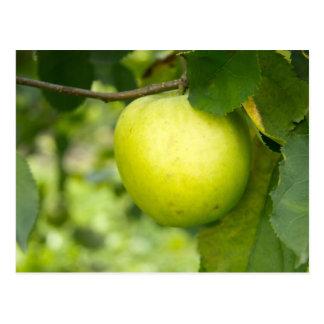 Apple verde en una rama de árbol tarjeta postal
