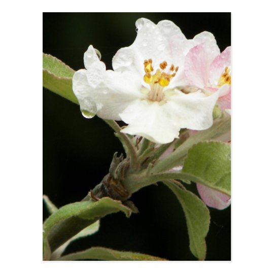 appleblossom postcard