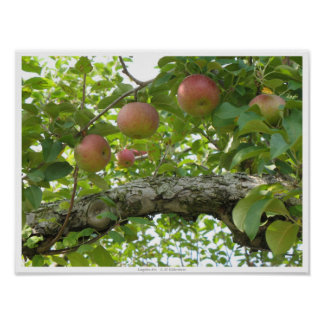 Apples Hanging On The Tree Poster