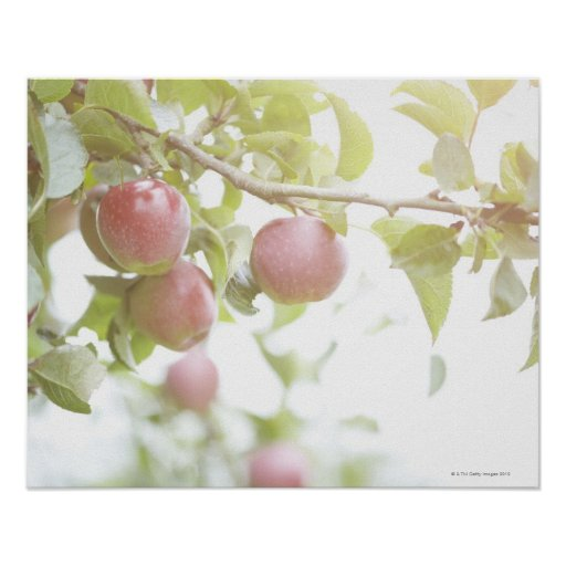 Apples on branch of tree. poster