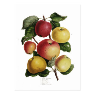 Apples Postcard