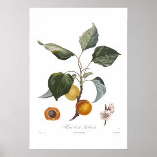 Apricot, Abricot de Hollande Poster