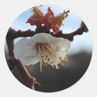 Apricot Blossom Classic Round Sticker