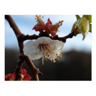 Apricot Blossom Postcard