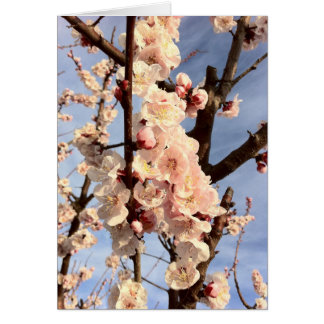 apricot blossoms greeting cards