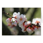Apricot Blossoms Notecard