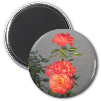 Apricot Cathedral Roses Magnet