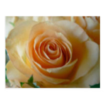Apricot Colored Rose Postcard