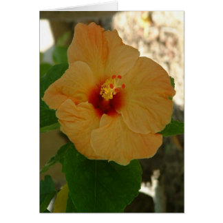 Apricot Hibiscus Flower Cards