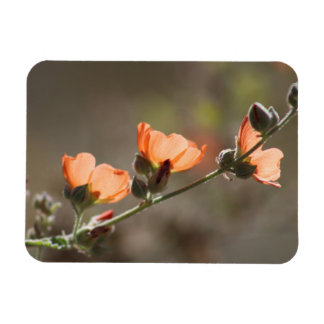 Apricot Mallow Flowers Flexible Photo Magnet