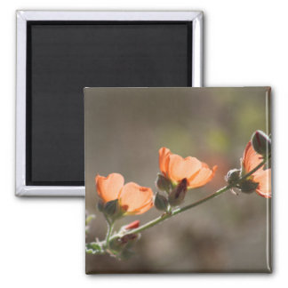 Apricot Mallow Flowers Photo Magnet