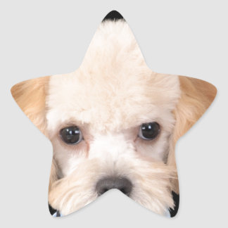 apricot poodle.png star sticker