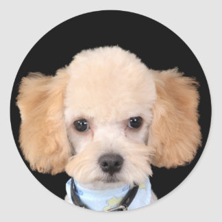 apricot poodle.png classic round sticker