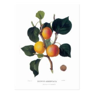 Apricot Postcard