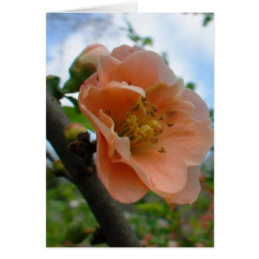 APRICOT QUINCE BLOOM CARD
