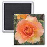 Apricot Rose Square Magnet Fridge Magnet