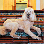 """Apricot Standard Poodle - Bocelli Statuette<br><div class=""""desc"""">This is Bocelli a very Regal Apricot Standard Poodle that I spent a few hours photographing at his favorite &quot;go to&quot; place in Carmel California.</div>"""