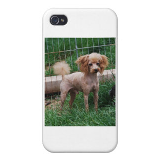 Apricot Toy Poodle stud dog iPhone 4 Case