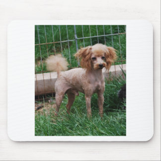Apricot Toy Poodle stud dog Mouse Pad