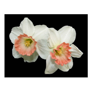 Apricot/White Jonquils/Daffodils Postcard