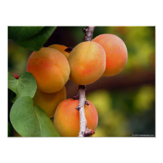 Apricots Poster